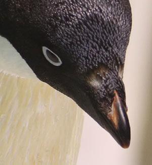 长隆海洋王国阿德利企鹅