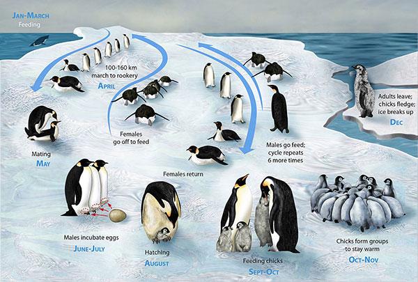 长隆海洋王国帝企鹅